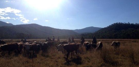 wonnangatta_cattle