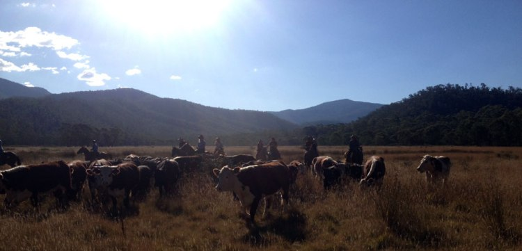 wonnangatta_cattle